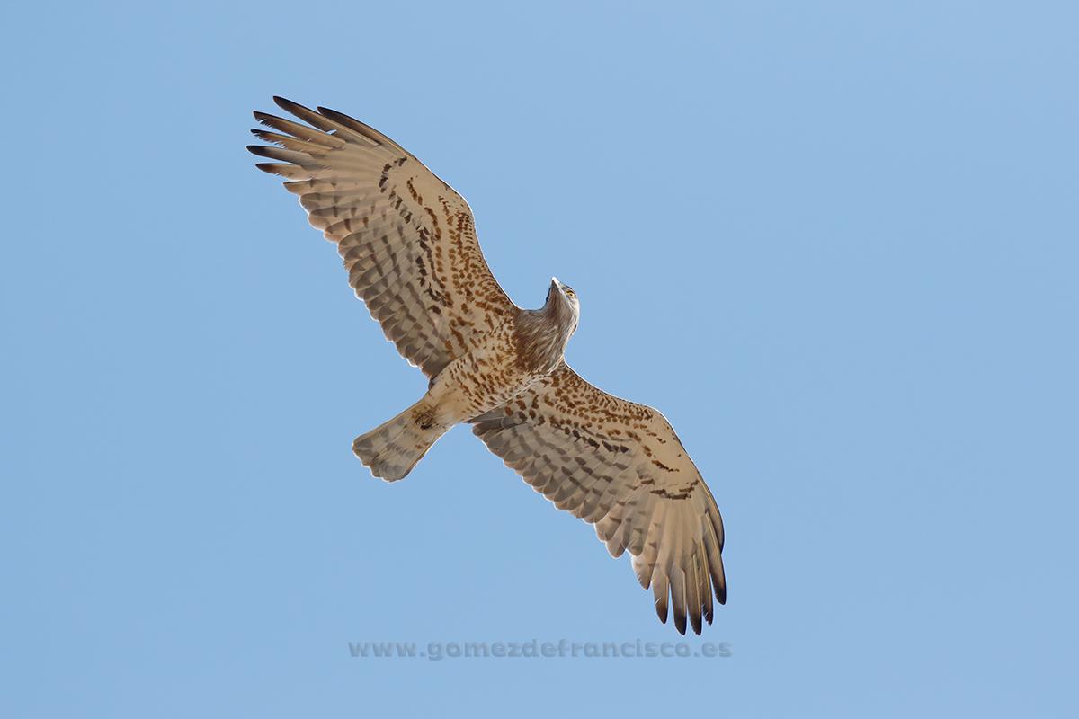 Águila culebrera (Circaetus gallicus). Tarifa - En el cielo - J L Gómez de Francisco. Fotografía de animales en el aire - Photograhy of animals in the air