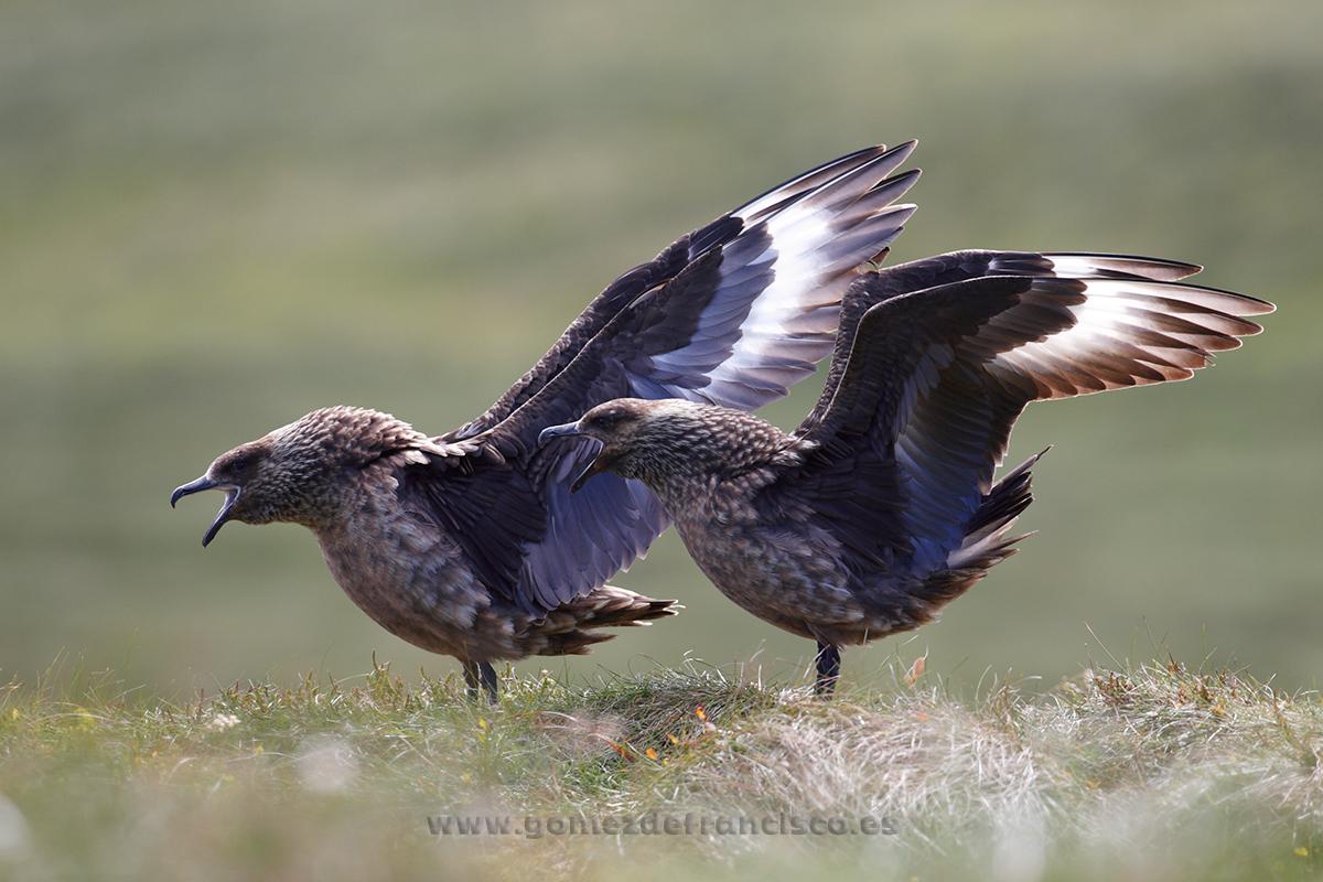 Págalo grande (Stercorarius skua). Noruega - En la tierra - J L Gómez de Francisco. Fotografía de fauna - Phtography of wild animals