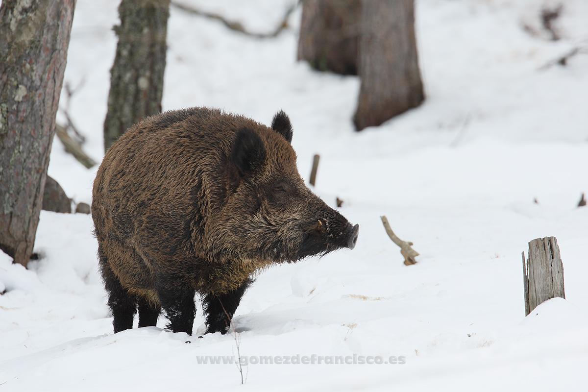 Jabalí (Sus scrofa) - En blanco y frío - J L Gómez de Francisco. Fotografía de animales en la nieve - Photograhy of animals in the snow