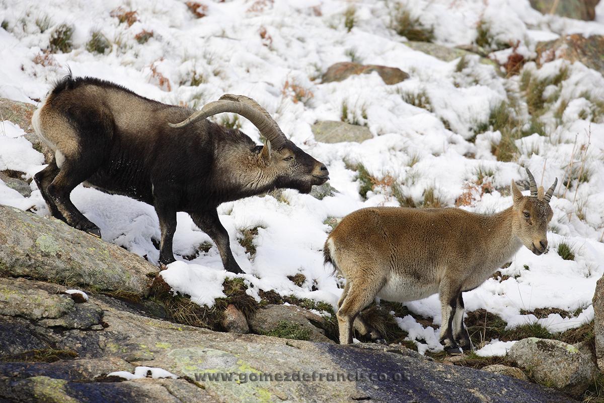 Cabras monteses (Capra pyrenaica). Sierra de Gredos, Ávila - En blanco y frío - J L Gómez de Francisco. Fotografía de animales en la nieve - Photograhy of animals in the snow