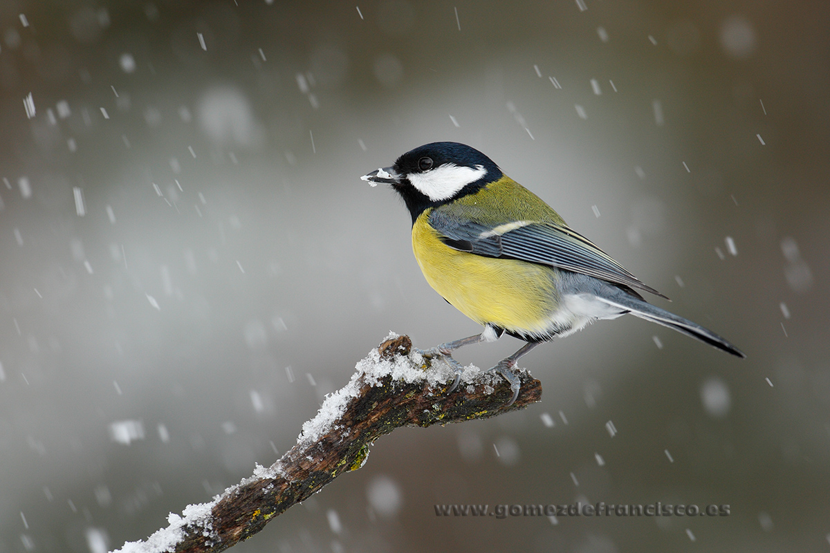 Carbonero común (Parus major). La Rioja - En blanco y frío - J L Gómez de Francisco. Fotografía de animales en la nieve - Photograhy of animals in the snow