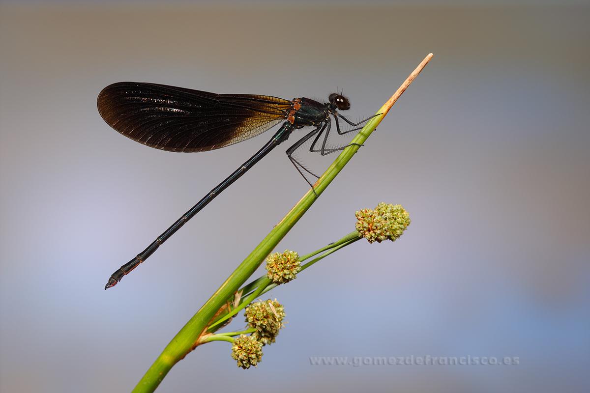 Calopterix haemorrhoidalis, macho. Navarra - Mundos pequeños - J L Gómez de Francisco. Fotografía macro de la naturaleza - Macro Photography in the wild