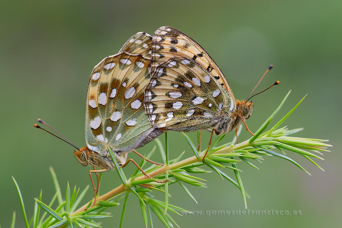 Argynnis aglaja, cópula - Mundos pequeños - J L Gómez de Francisco. Fotografía macro de la naturaleza - Macro Photography in the wild