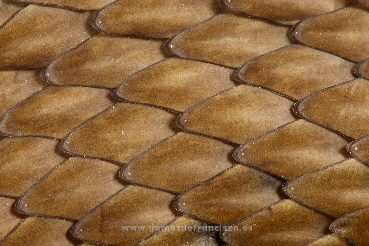 Detalle de escamas de culebra bastarda (Malpolon monspessulanus). La Rioja - Atención al detalle - J L Gómez de Francisco. Fotografía de detalles de la naturaleza - Photography of patterns in nature