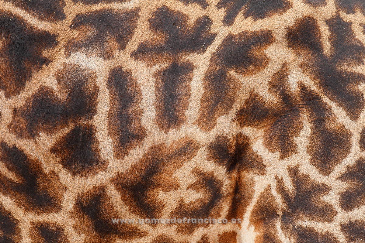 Detalle de una jirafa (Giraffa camelopardalis). Parque Nacional Tarangire, Tanzania - Atención al detalle - J L Gómez de Francisco. Fotografía de detalles de la naturaleza - Photography of patterns in nature