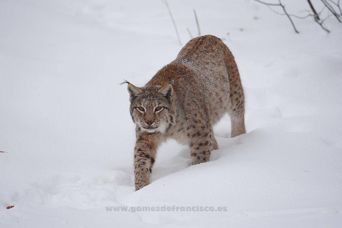 Lince boreal (Lynx lynx) - En blanco y frío - J L Gómez de Francisco. Fotografía de animales en la nieve - Photograhy of animals in the snow