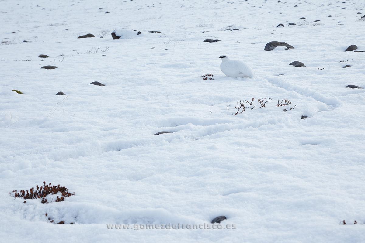 Perdiz nival (Lagopus mutus), macho. Islandia - En blanco y frío - J L Gómez de Francisco. Fotografía de animales en la nieve - Photograhy of animals in the snow