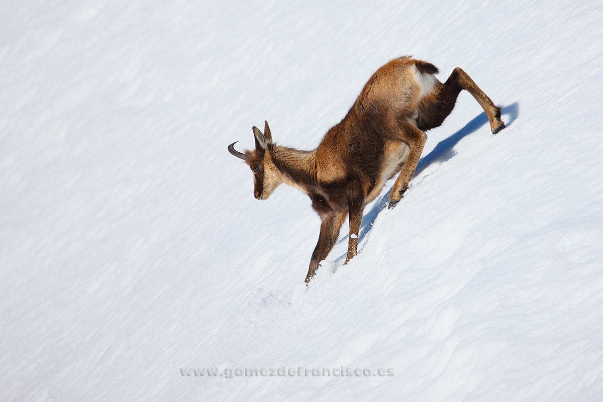 Rebeco cantábrico (Rupicapra pyrenaica parva). P Nacional Picos de Europa - En blanco y frío - J L Gómez de Francisco. Fotografía de animales en la nieve - Photograhy of animals in the snow