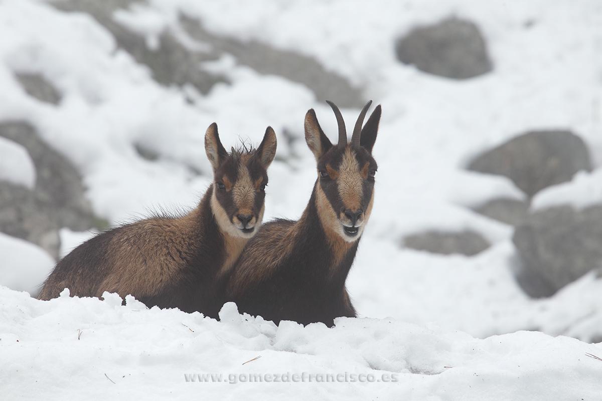 Rebeco pireniaco (Rupicapra p. pyrenaica) - En blanco y frío - J L Gómez de Francisco. Fotografía de animales en la nieve - Photograhy of animals in the snow