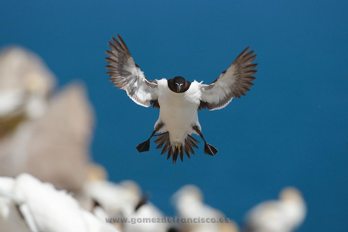 Alca (Alca torda). Irlanda - En el cielo - J L Gómez de Francisco. Fotografía de animales en el aire - Photograhy of animals in the air