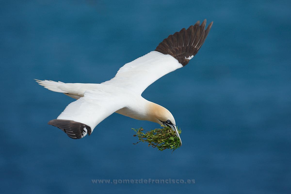 Alcatraz (Morus bassanus). Irlanda - En el cielo - J L Gómez de Francisco. Fotografía de animales en el aire - Photograhy of animals in the air