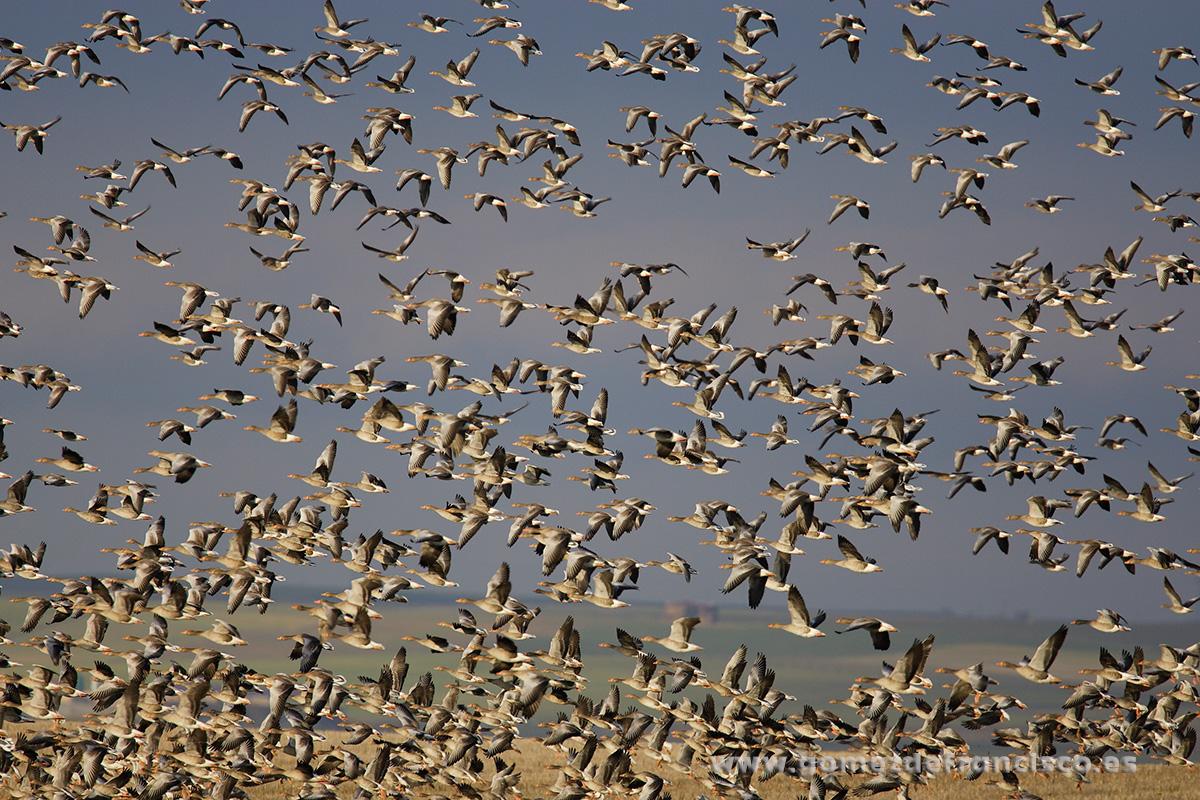 Ánsares comunes (A. anser). Villafáfila, Zamora - En el cielo - J L Gómez de Francisco. Fotografía de animales en el aire - Photograhy of animals in the air