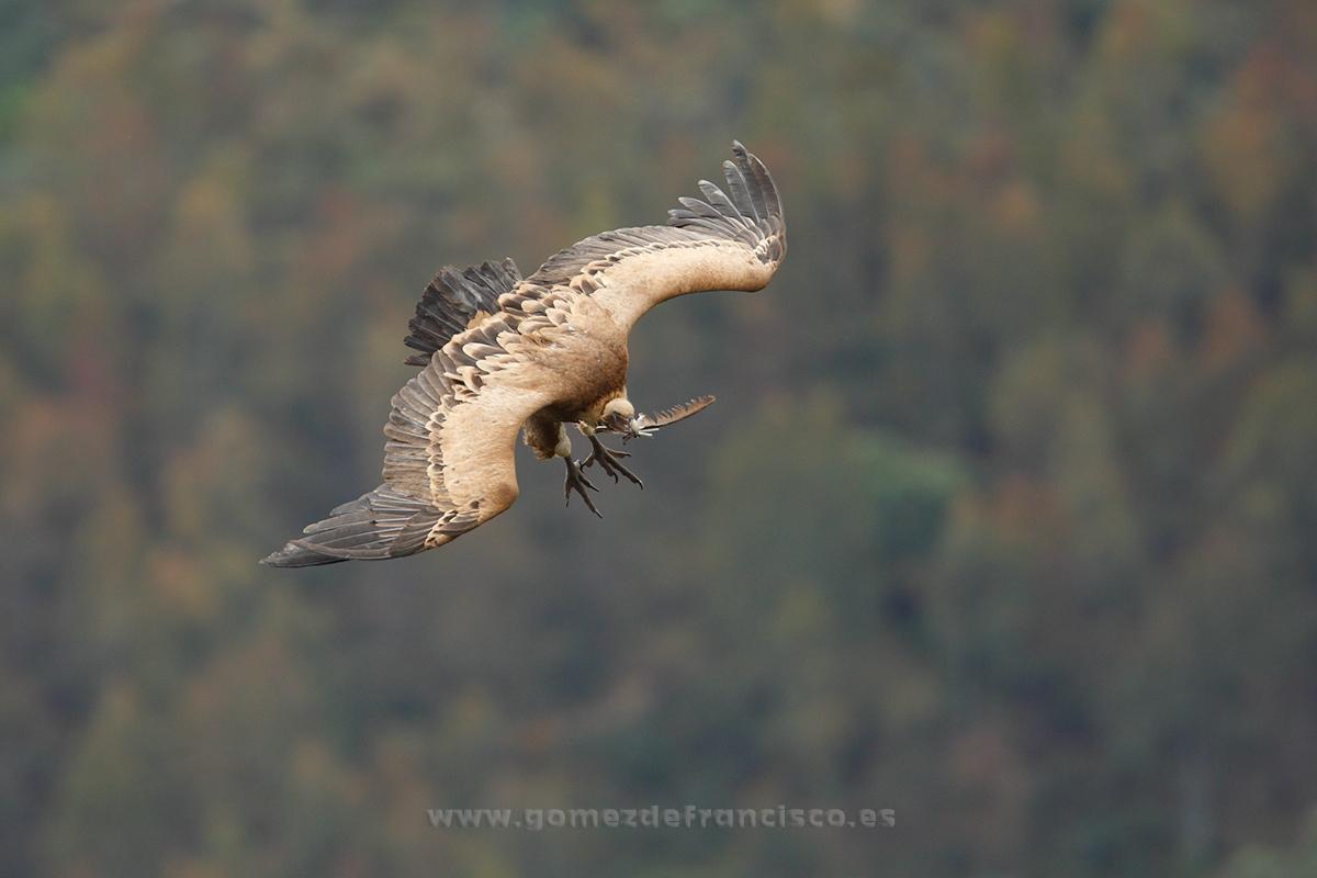Buitre leonado (Gyps fulvus). P Nacional de Monfragüe, Cáceres - En el cielo - J L Gómez de Francisco. Fotografía de animales en el aire - Photograhy of animals in the air