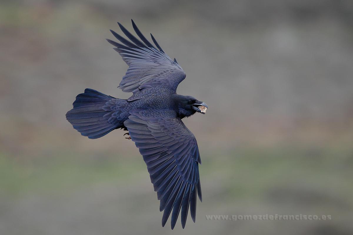 Cuervo (Corvus corax). La Rioja - En el cielo - J L Gómez de Francisco. Fotografía de animales en el aire - Photograhy of animals in the air