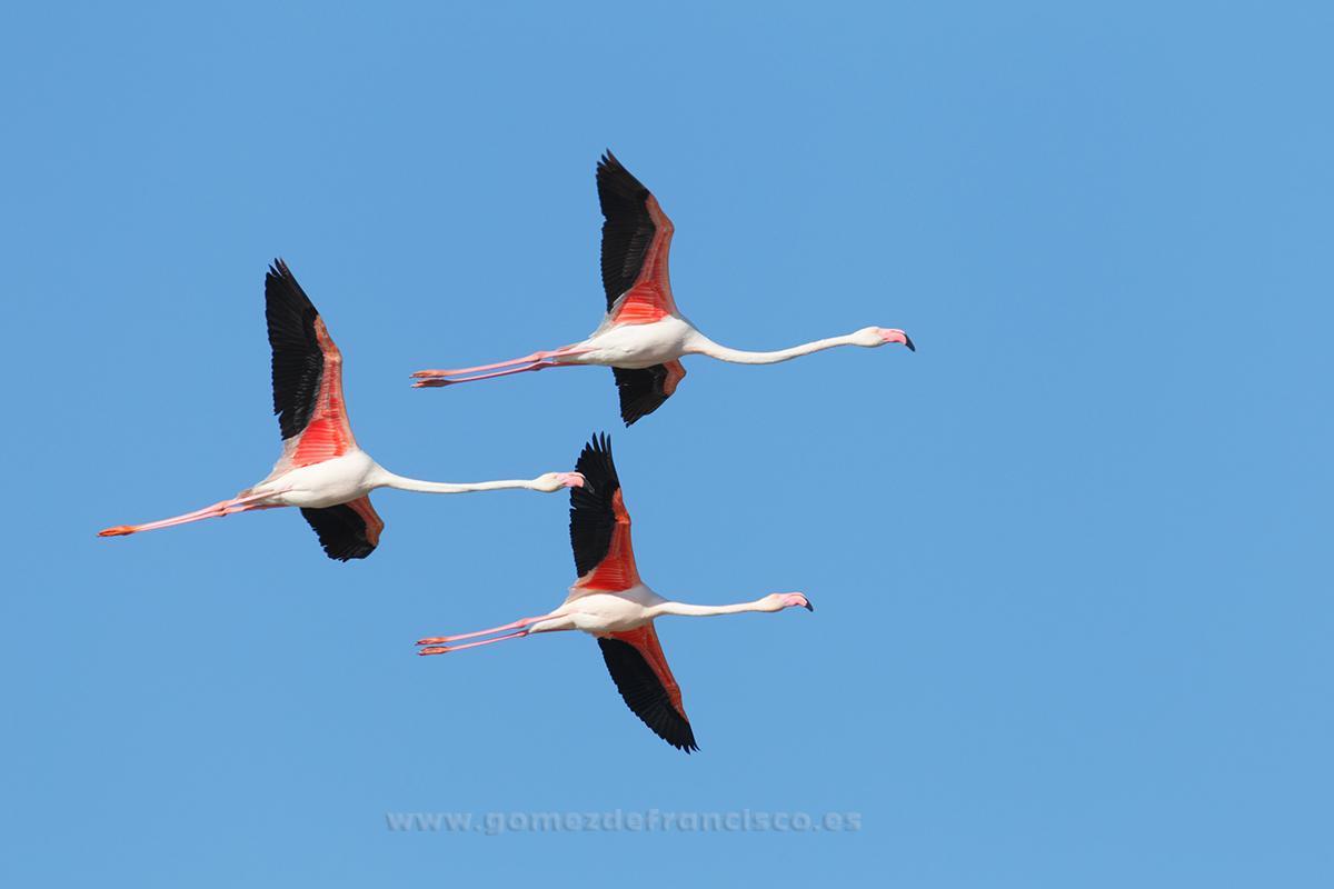 Flamenco común (Phoenicopterus ruber). Delta del Ebro - En el cielo - J L Gómez de Francisco. Fotografía de animales en el aire - Photograhy of animals in the air