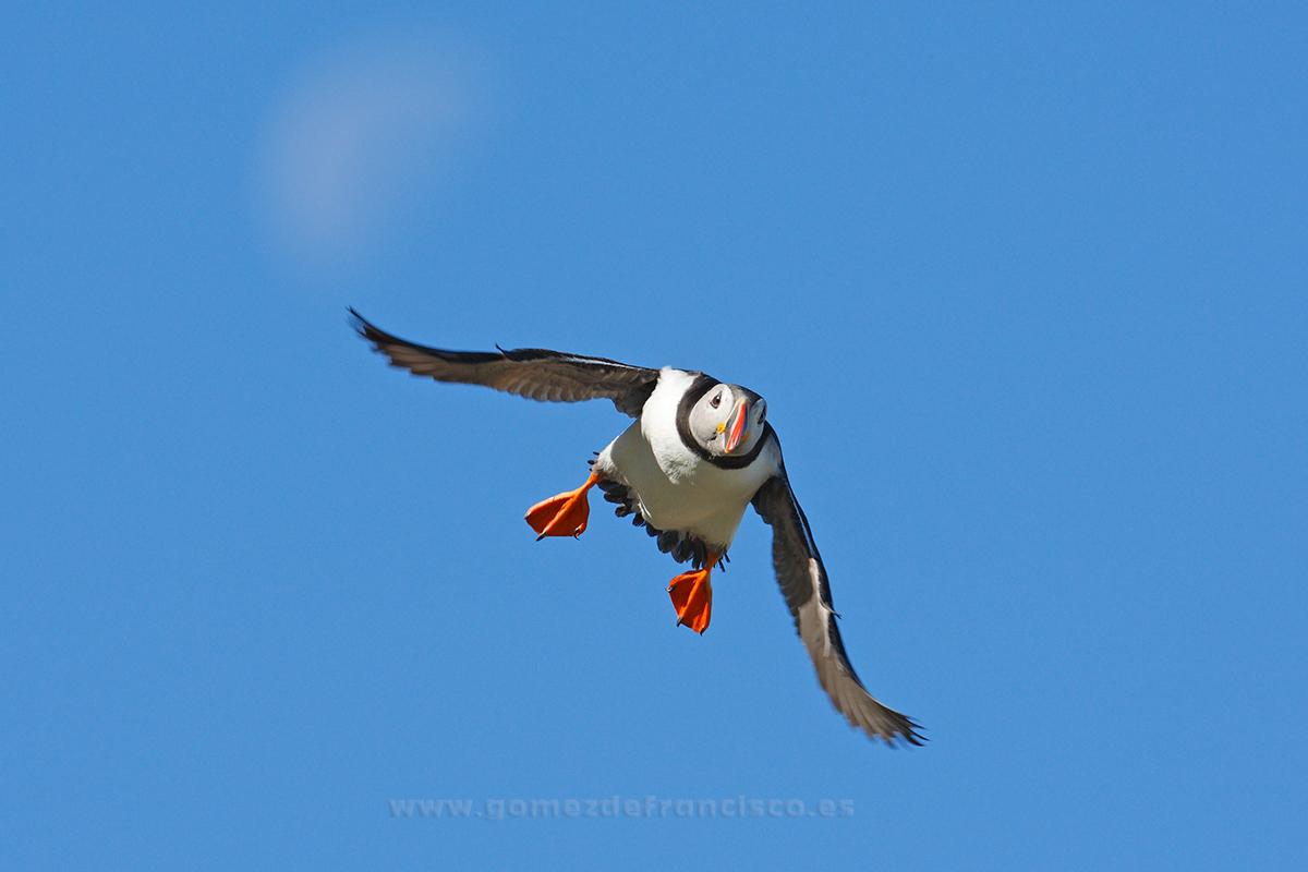 Frailecillo (Fratercula arctica). Noruega - En el cielo - J L Gómez de Francisco. Fotografía de animales en el aire - Photograhy of animals in the air