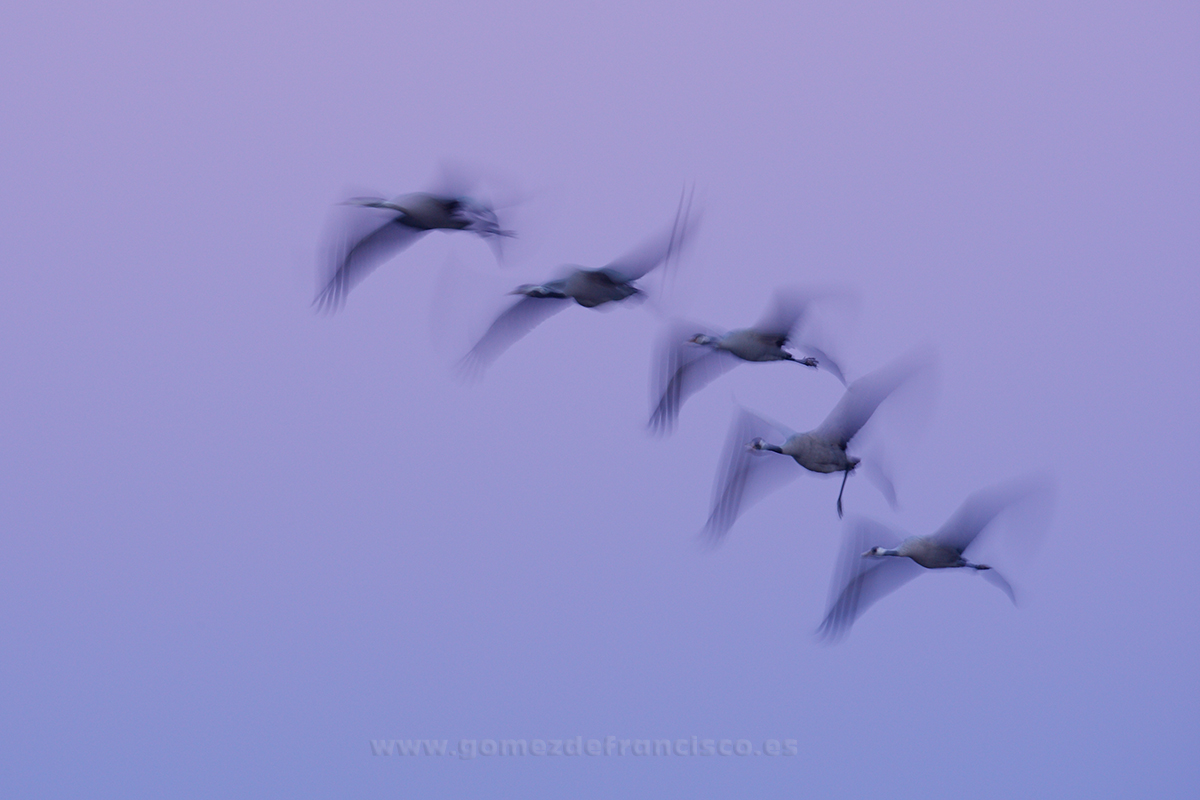 Grullas comunes (Grus grus). Gallocanta, Zamora - En el cielo - J L Gómez de Francisco. Fotografía de animales en el aire - Photograhy of animals in the air