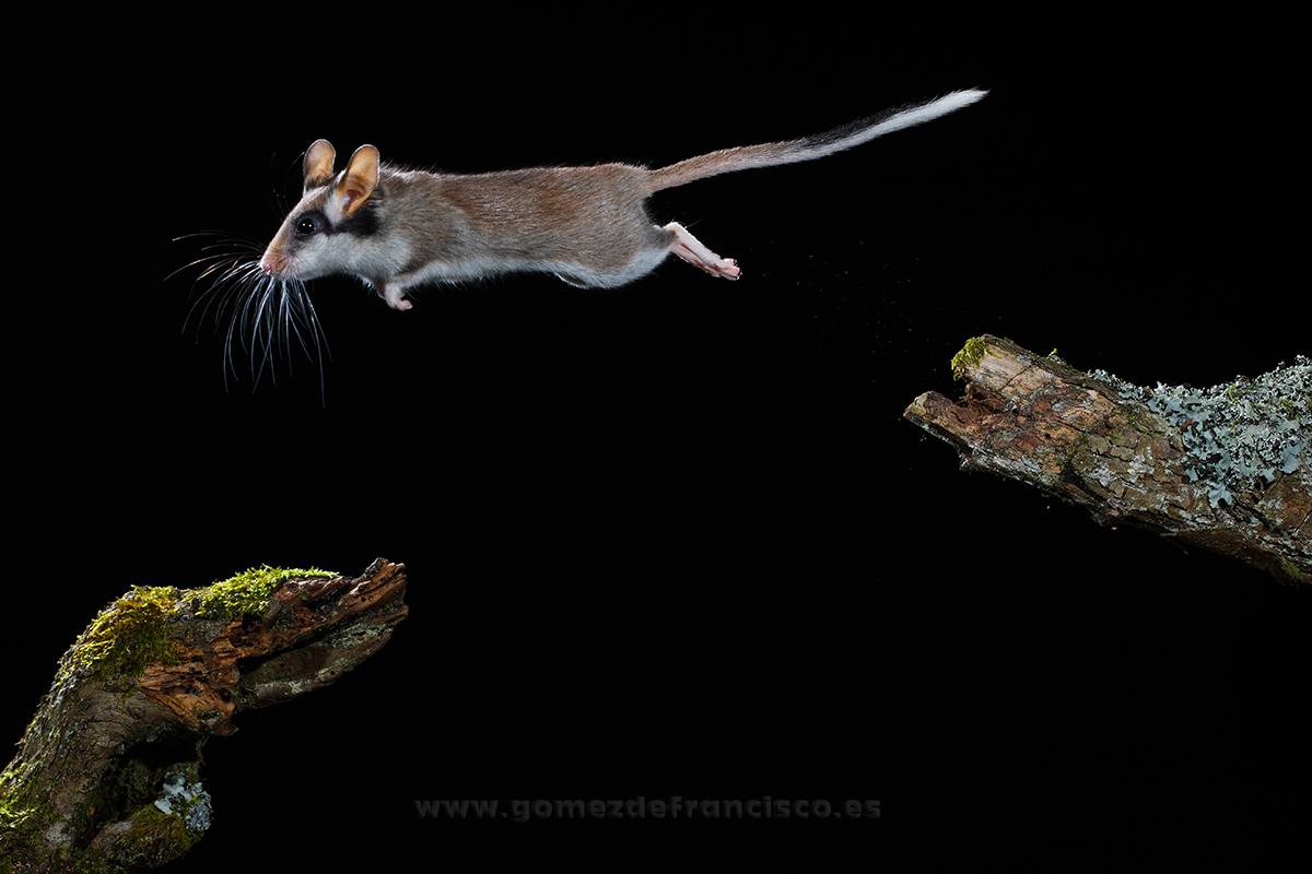 Lirón careto (Eliomys quercinus). La Rioja - En el cielo - J L Gómez de Francisco. Fotografía de animales en el aire - Photograhy of animals in the air