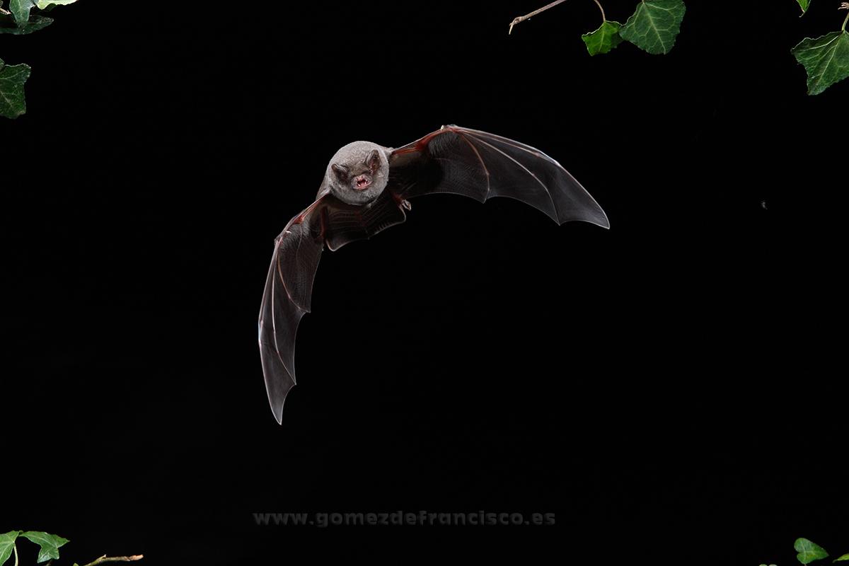 Murciélago de cueva (Miniopterus schreibersi). Vizcaya - En el cielo - J L Gómez de Francisco. Fotografía de animales en el aire - Photograhy of animals in the air