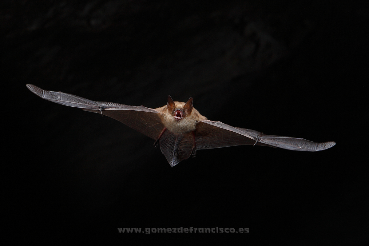 Murciélago ratonero pardo (Myotis emarginatus). Vizcaya - En el cielo - J L Gómez de Francisco. Fotografía de animales en el aire - Photograhy of animals in the air