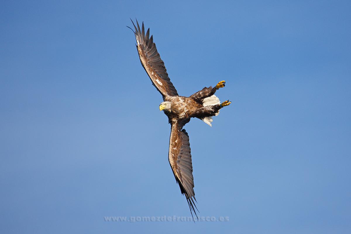 Pigargo europeo (Haliaeetus albicilla). Noruega - En el cielo - J L Gómez de Francisco. Fotografía de animales en el aire - Photograhy of animals in the air
