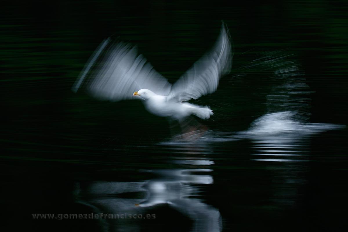 Gaviota argéntea (Larus argentatus). Noruega - En el agua - J L Gómez de Francisco. Fotografía de animales en el agua - Photography of animals in the water