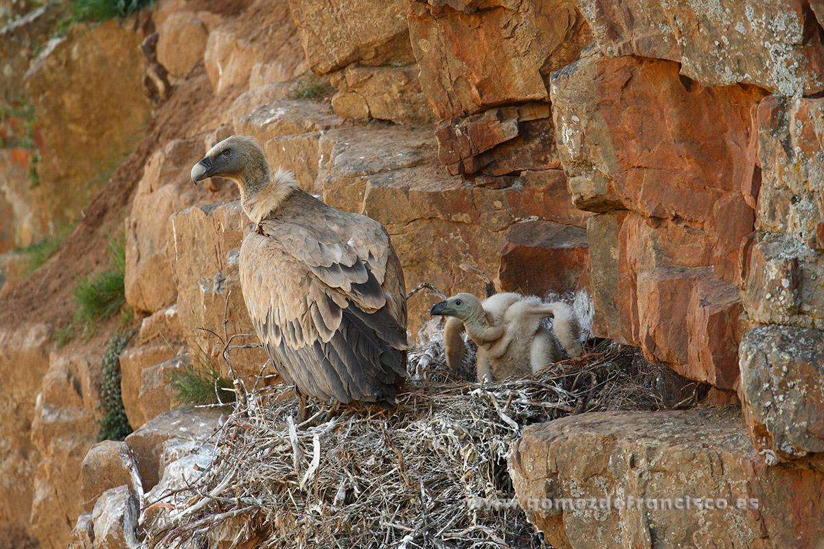 Buitre leonado (Gyps fulvus). La Rioja - En la tierra - J L Gómez de Francisco. Fotografía de fauna - Phtography of wild animals