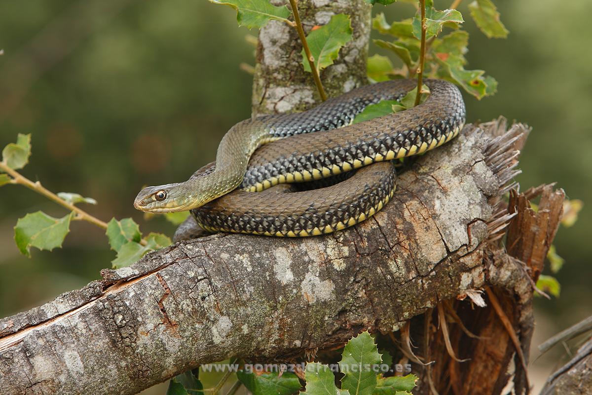 Culebra bastarda (Malpolon monspessulanus). Álava - En la tierra - J L Gómez de Francisco. Fotografía de fauna - Phtography of wild animals
