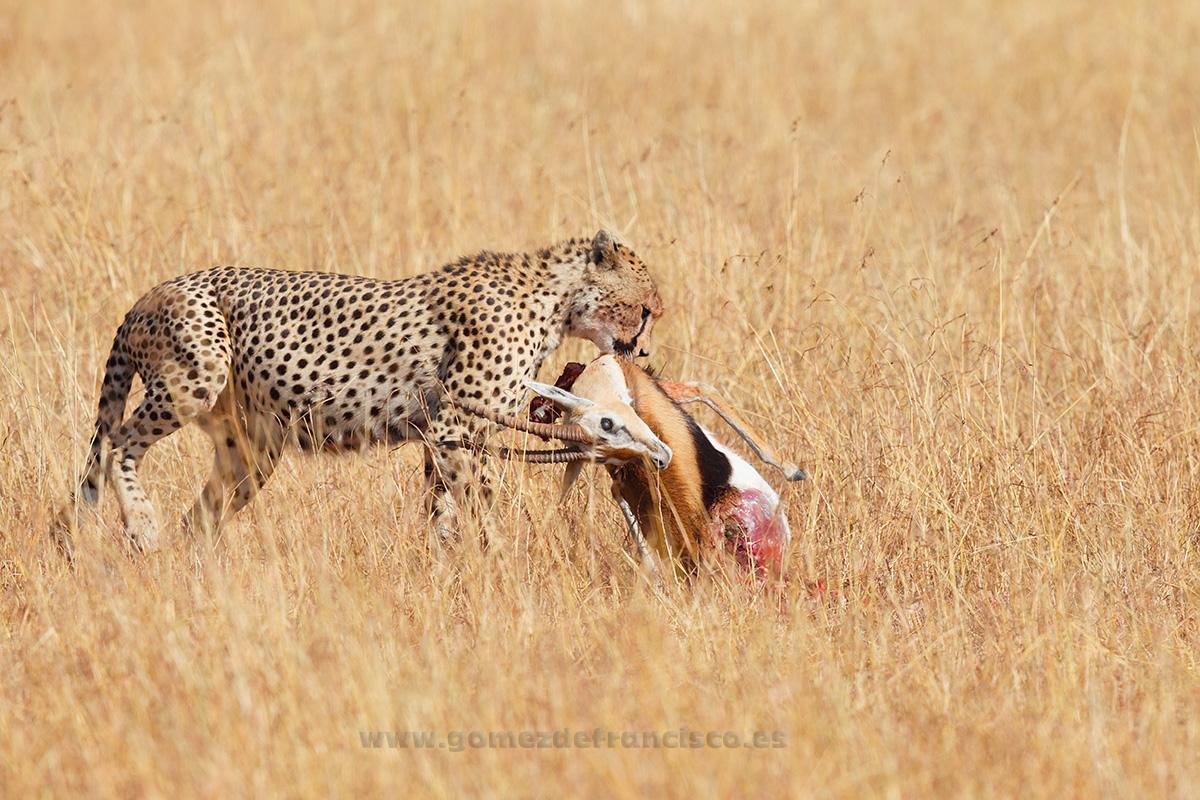 Guepardo (Acinonyx jubatus) comiendo una gacela de Thomson. P Nacional Serengueti, Tanzania - Cheetah (Acinonys jubatus) feeding on a Thomson´s gazelle. Serengeti National Park, Tanzania  - J L Gómez de Francisco. Wildlife photography