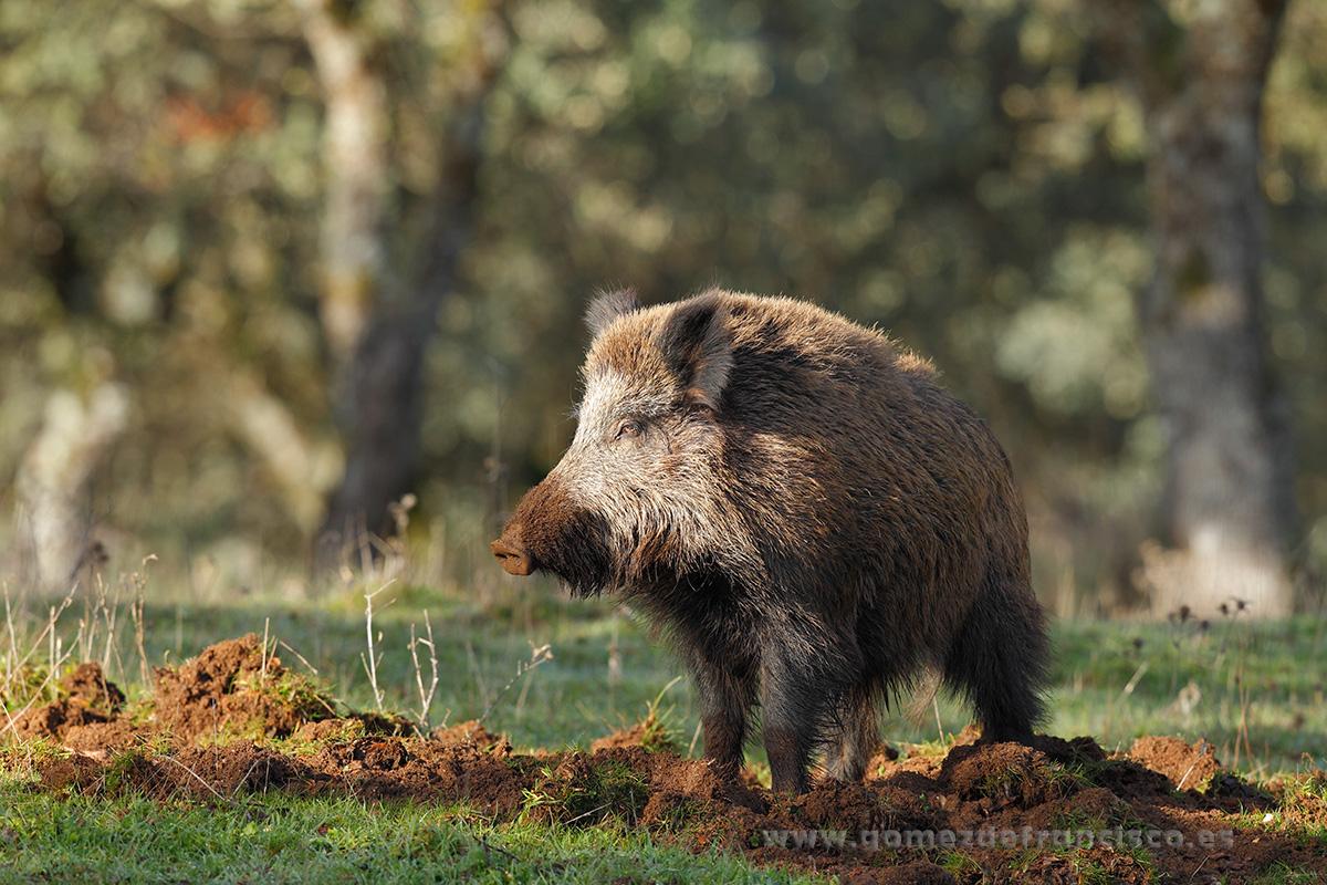 Jabalí (Sus scrofa). P Natural Sierra de Andújar, Jaén - En la tierra - J L Gómez de Francisco. Fotografía de fauna - Phtography of wild animals