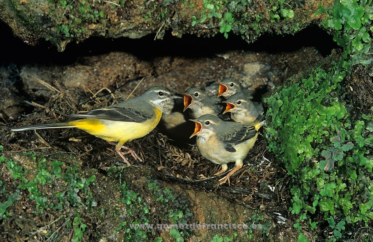 Lavanderas cascadeñas (Motacilla cinerea). Vizcaya - En la tierra - J L Gómez de Francisco. Fotografía de fauna - Phtography of wild animals
