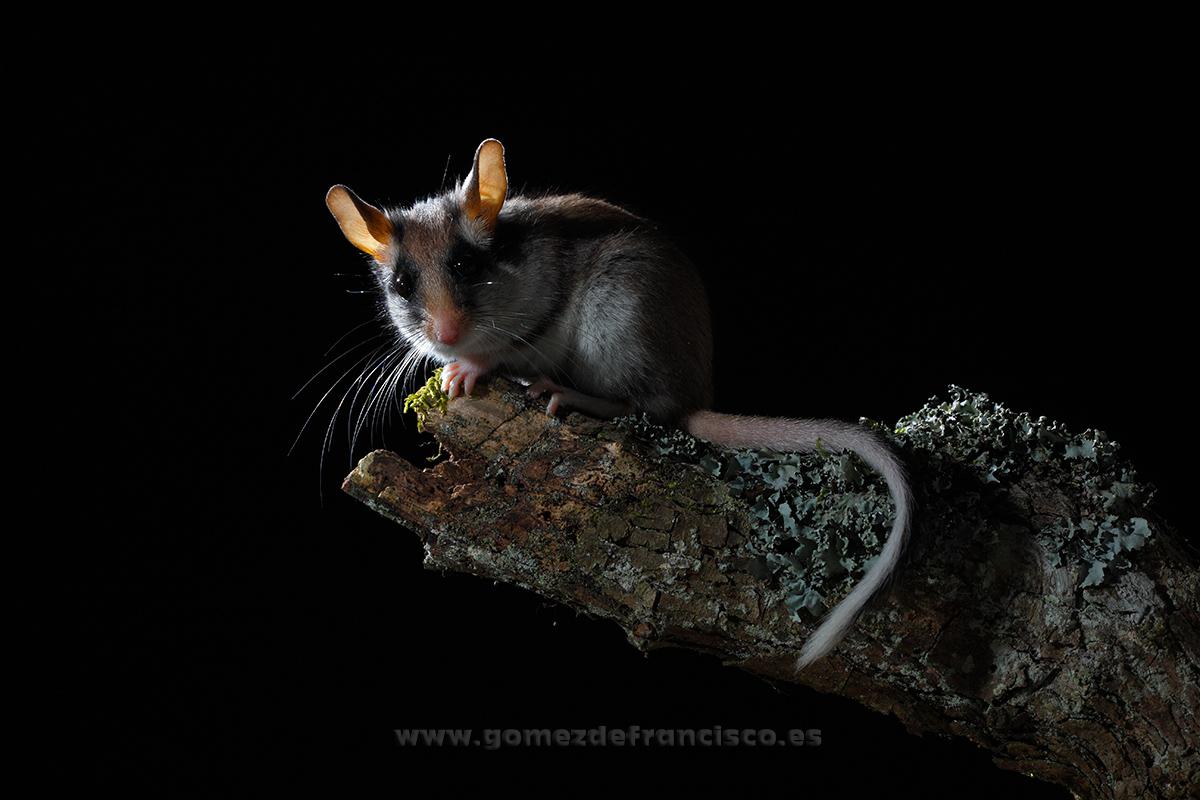 Lirón careto (Eliomys quercinus). La Rioja - En la tierra - J L Gómez de Francisco. Fotografía de fauna - Phtography of wild animals