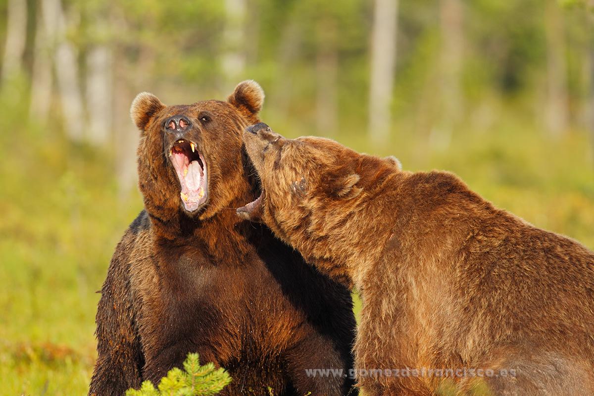 Osos pardos (Ursus arctos). - En la tierra - J L Gómez de Francisco. Fotografía de fauna - Phtography of wild animals