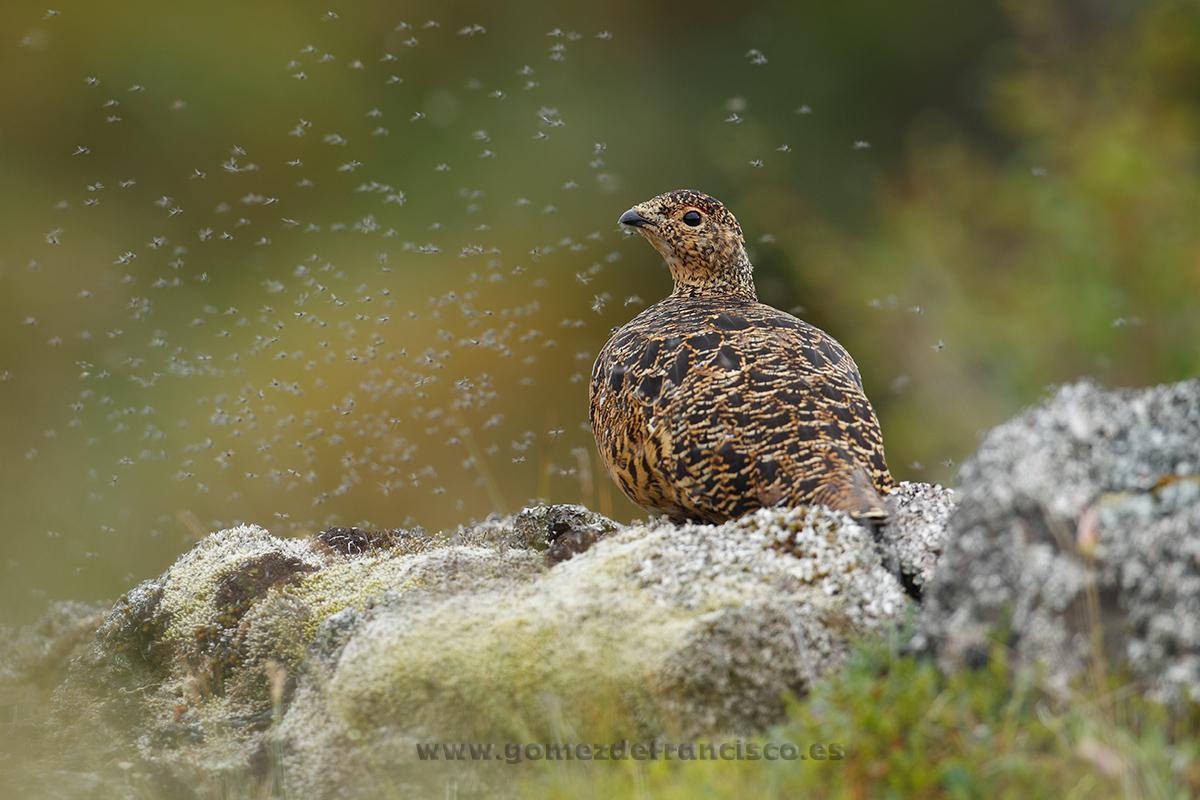Perdiz nival (Lagopus mutus), hembra. Islandia - En la tierra - J L Gómez de Francisco. Fotografía de fauna - Phtography of wild animals