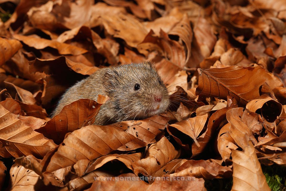 Topillo rojo (Clethrionomys glareolus). Pirineos, Huesca - En la tierra - J L Gómez de Francisco. Fotografía de fauna - Phtography of wild animals
