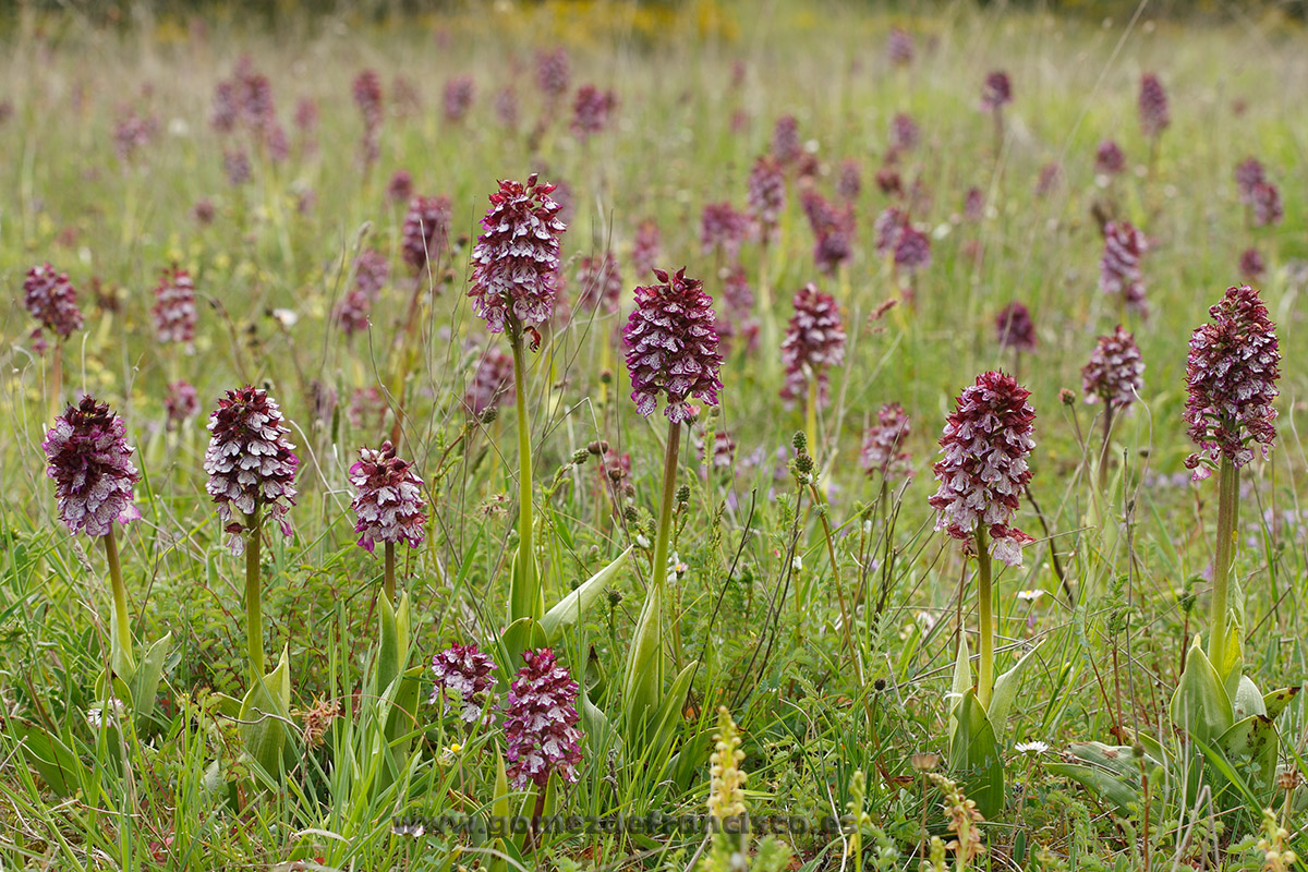 Orchis purpurea. Álava - Mundo vegetal - J L Gómez de Francisco. Fotografía de plantas - Phtography of plants