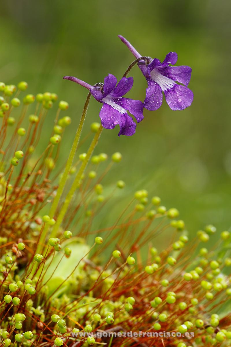 Grasilla (Pinguicola grandiflora). P Natural Sierra de Cebollera, La Rioja - Mundo vegetal - J L Gómez de Francisco. Fotografía de plantas - Phtography of plants