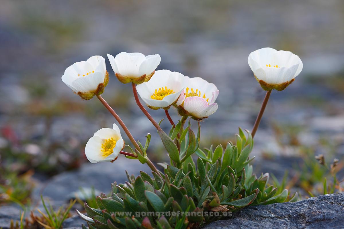 Rannunculus glacialis. Alpes - Mundo vegetal - J L Gómez de Francisco. Fotografía de plantas - Phtography of plants