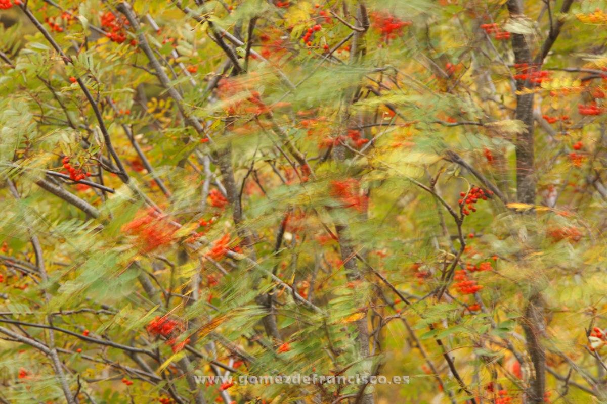 Serbal de cazadores (Sorbus aucuparia). La Rioja - Mundo vegetal - J L Gómez de Francisco. Fotografía de plantas - Phtography of plants
