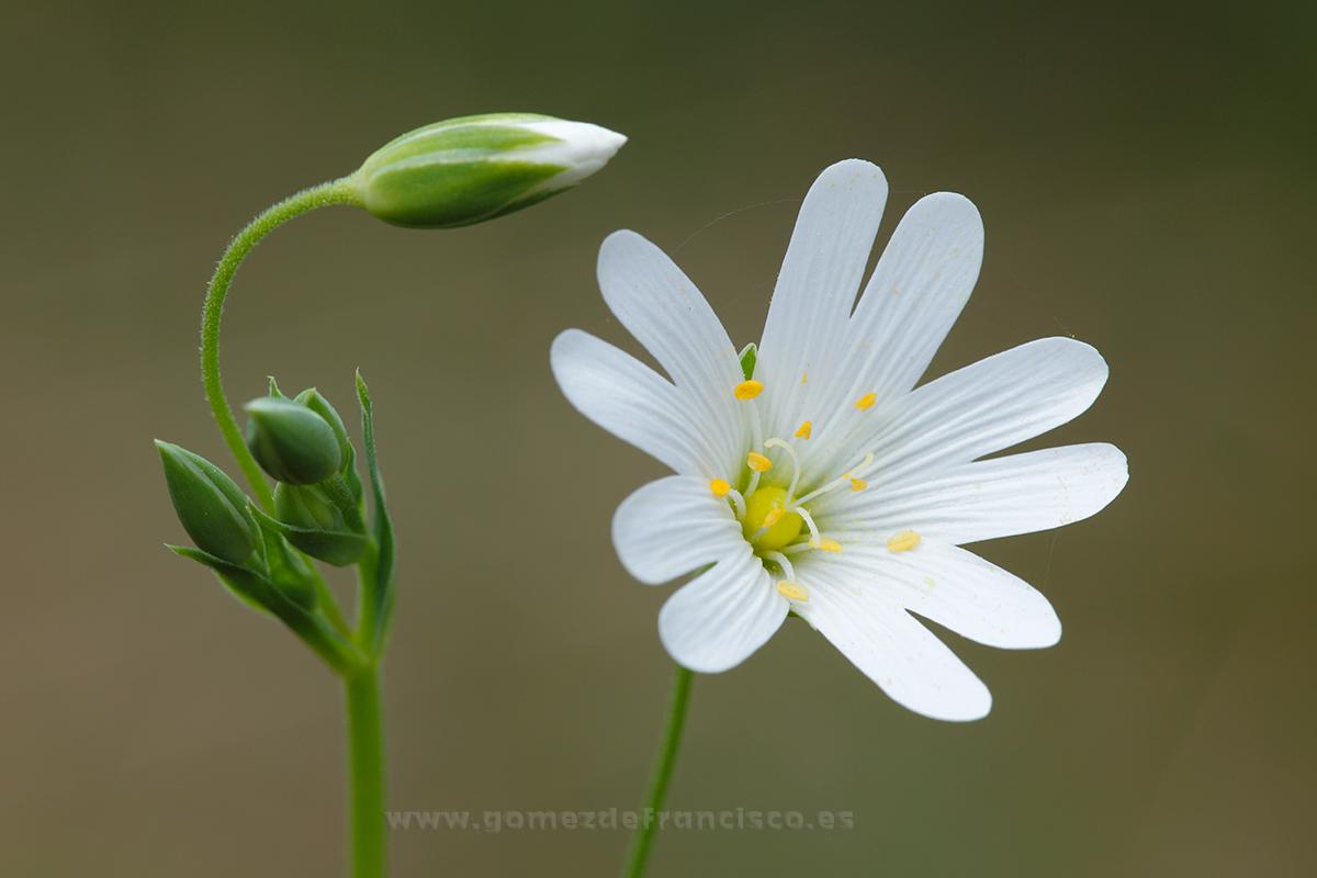 Stellaria holostea. Álava - Mundo vegetal - J L Gómez de Francisco. Fotografía de plantas - Phtography of plants