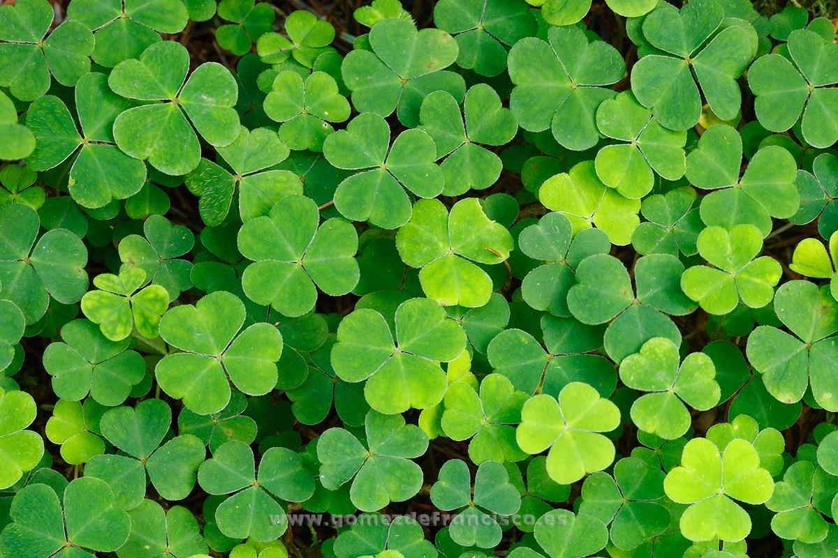 Trébol. Irlanda - Mundo vegetal - J L Gómez de Francisco. Fotografía de plantas - Phtography of plants
