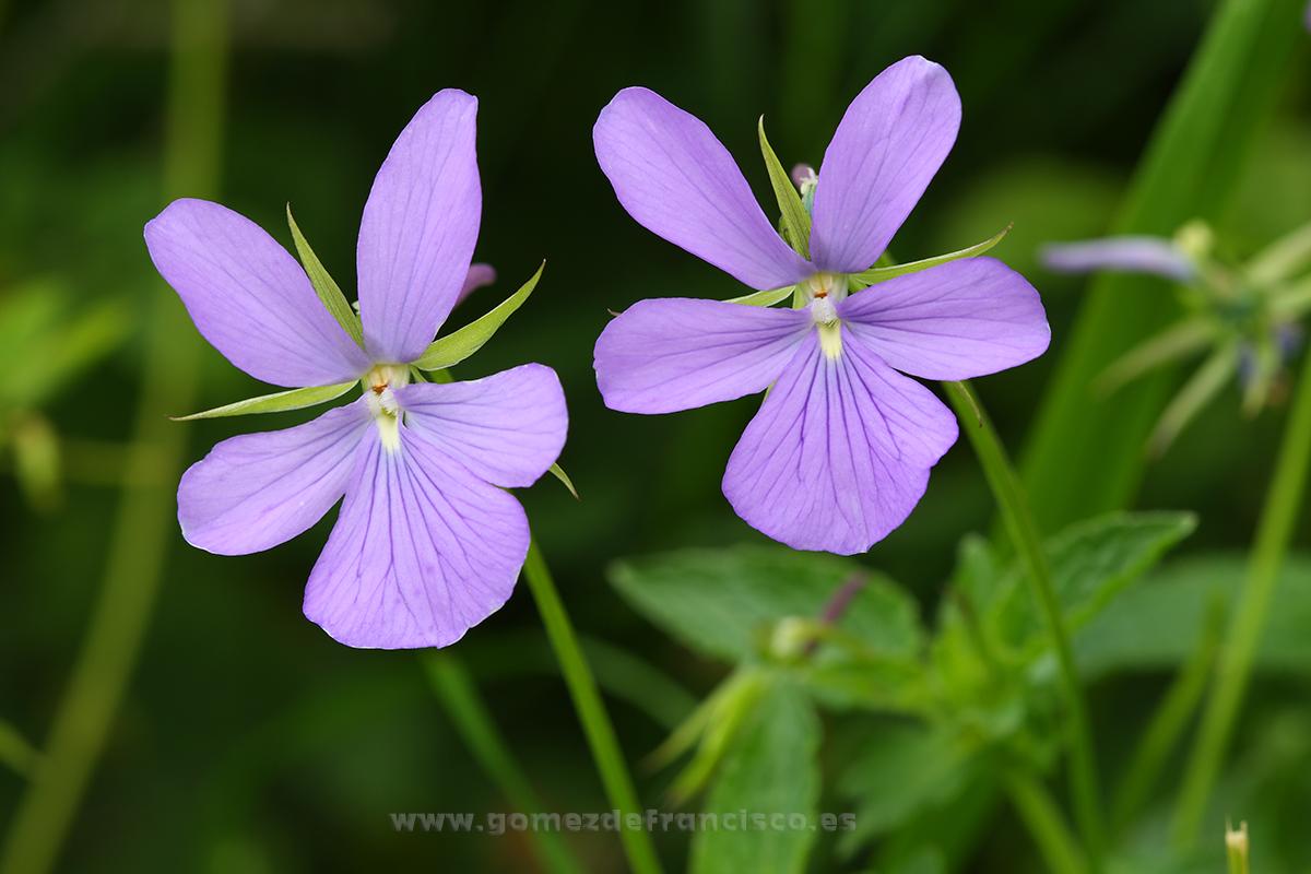 Viola cornuta - Mundo vegetal - J L Gómez de Francisco. Fotografía de plantas - Phtography of plants