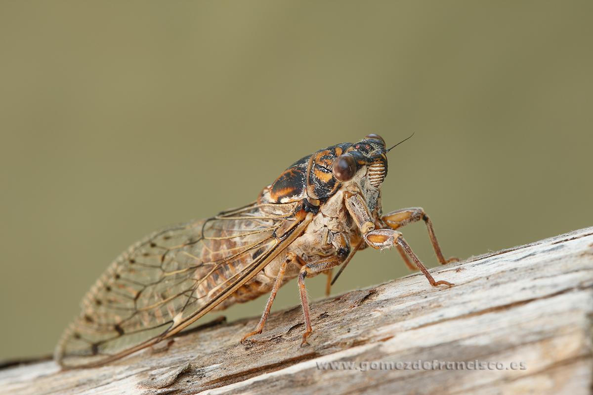 Cicada orni. Alicante - Mundos pequeños - J L Gómez de Francisco. Fotografía macro de la naturaleza - Macro Photography in the wild