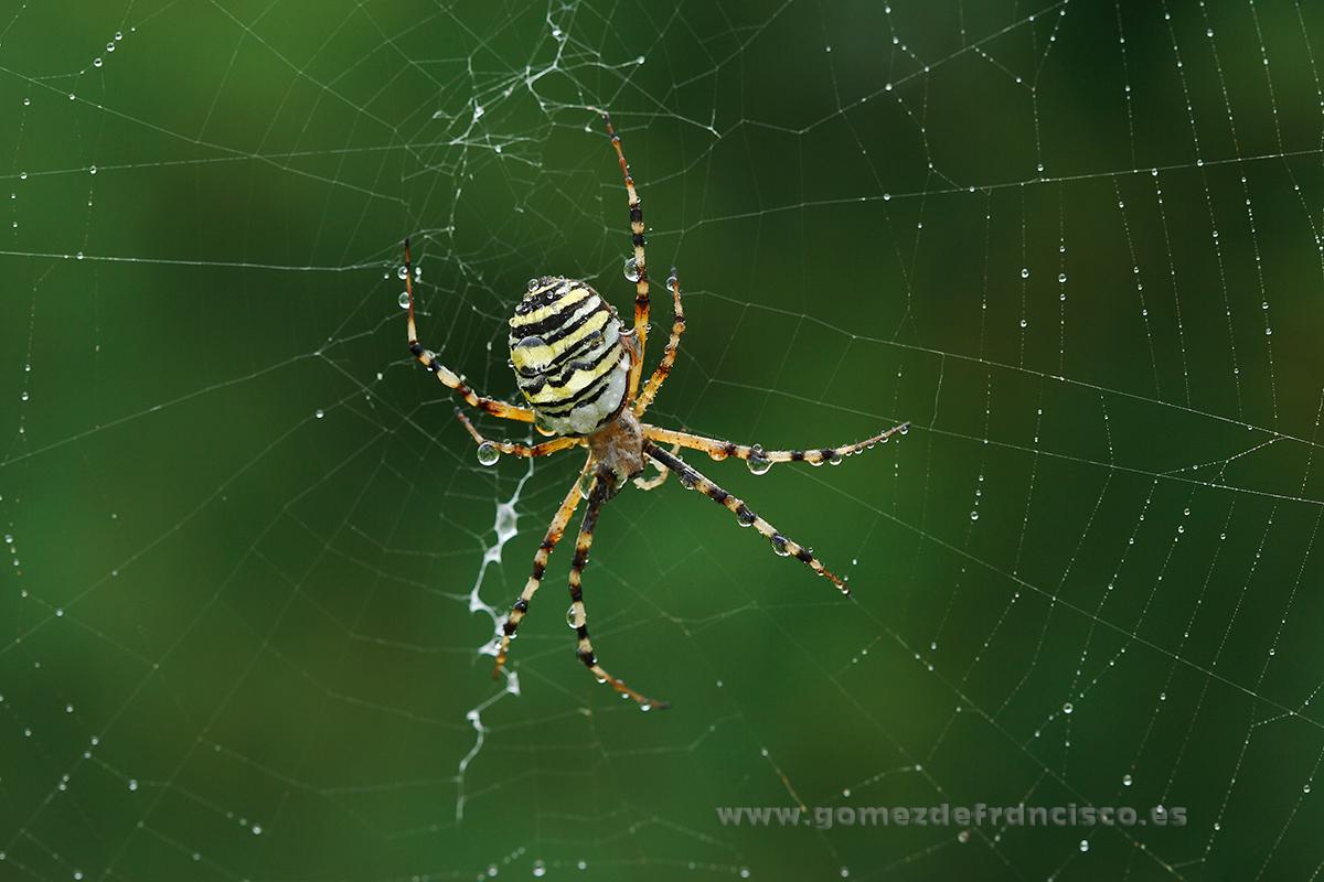 Araña tigre (Argiope bruennichi), hembra. Ciudad Real - Mundos pequeños - J L Gómez de Francisco. Fotografía macro de la naturaleza - Macro Photography in the wild