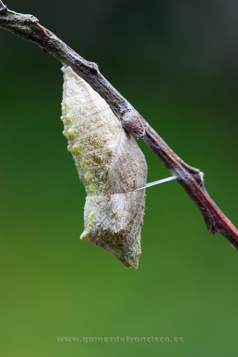 Crisálida de Macaón (Papilio machaon) - Mundos pequeños - J L Gómez de Francisco. Fotografía macro de la naturaleza - Macro Photography in the wild