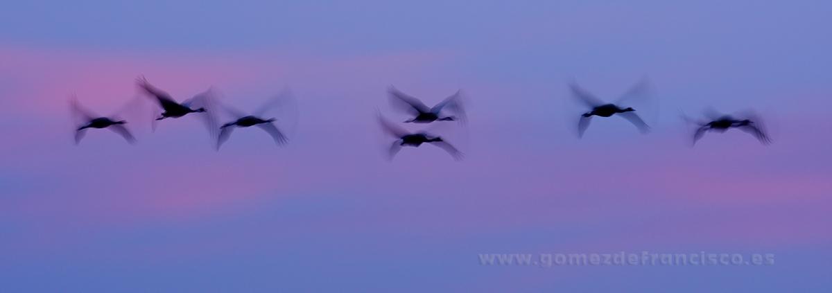 Grullas (Grus grus) al amanecer. Laguna de Gallocanta (Zaragoza) - Panorámicas - J L Gómez de Francisco. Fotografía panorámica de paisaje - Panoramic pictures