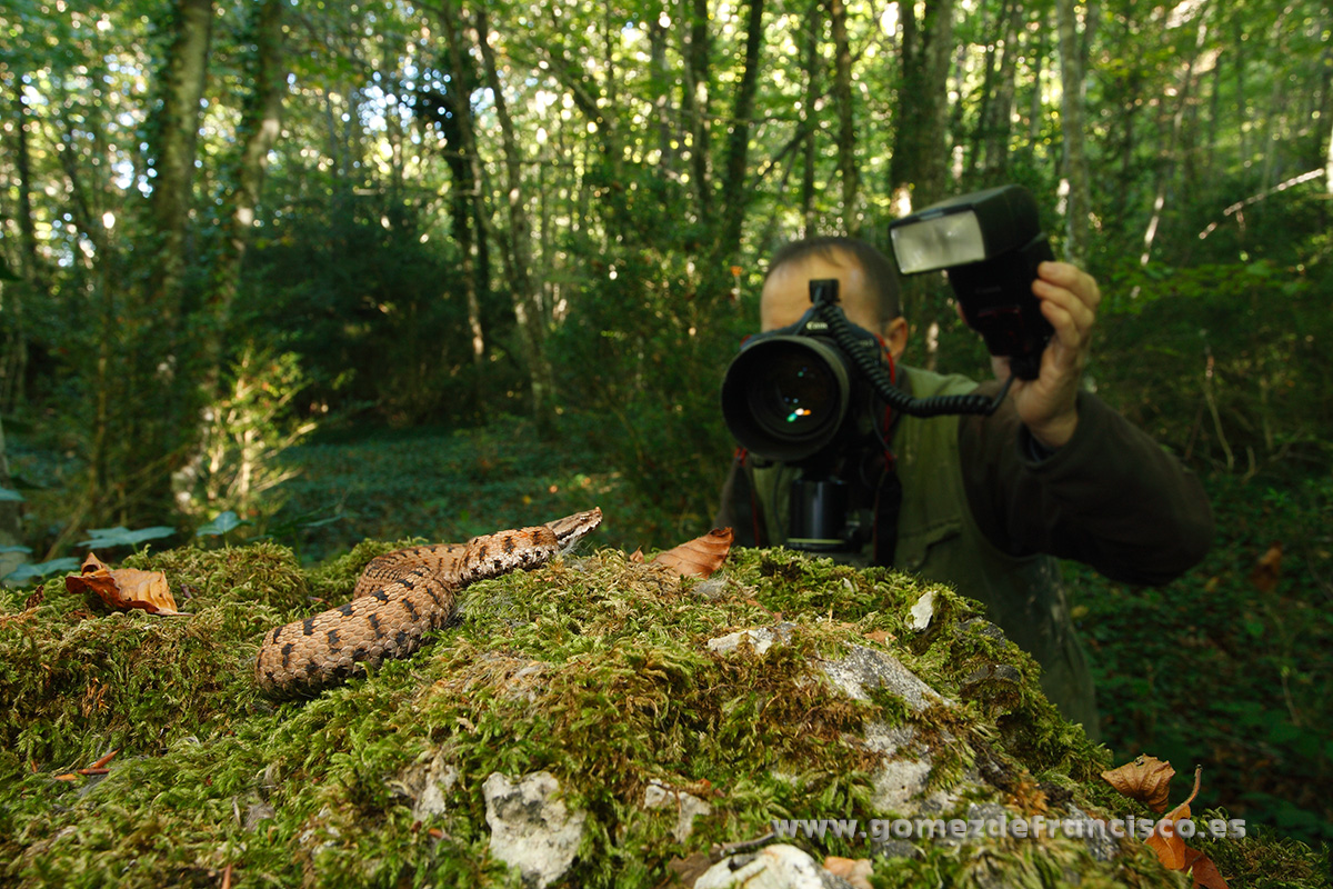Fotografiando víbora áspid (Vipera aspis). España - Making of - J L Gómez de Francisco. Fotografía de making of - Making of