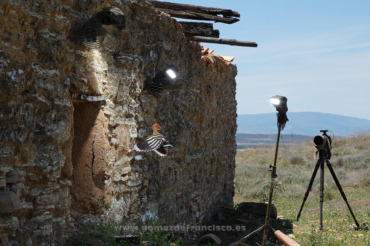 Fotografiando abubilla (Upupa epops). España - Making of - J L Gómez de Francisco. Fotografía de making of - Making of