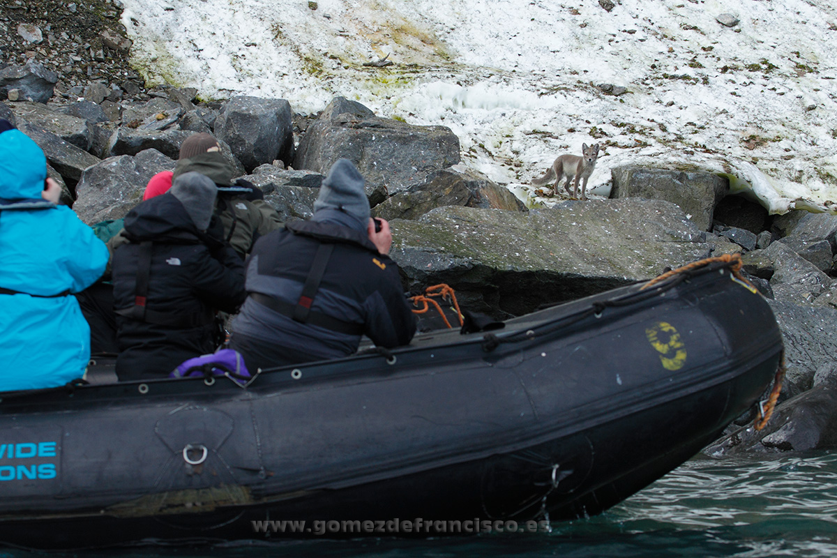 Fotografiando zorro ártico (Alopex lagopus). Svalbard - Making of - J L Gómez de Francisco. Fotografía de making of - Making of