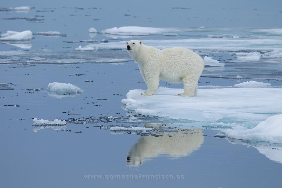 Oso polar (Thalarctos maritimus). Svalbard - En blanco y frío - J L Gómez de Francisco. Fotografía de animales en la nieve - Photograhy of animals in the snow
